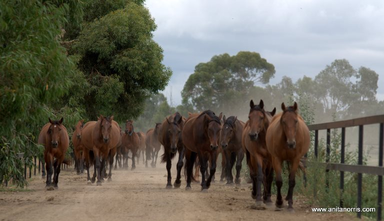 GVEH_horses