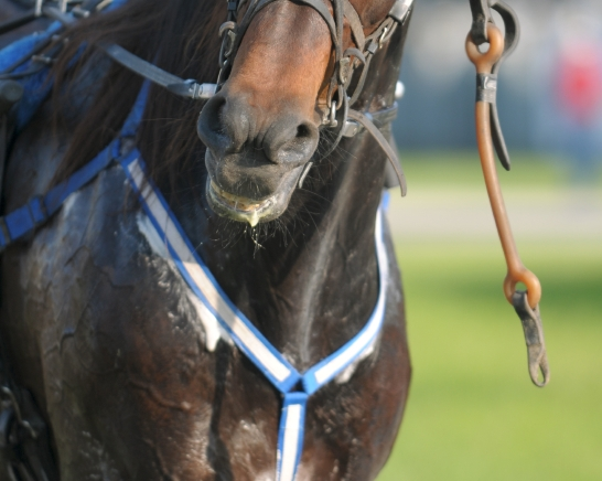 Istock_sweaty harness horse cropped