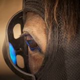 How to Prepare the Older Mare for Breeding Season - Equilume mask