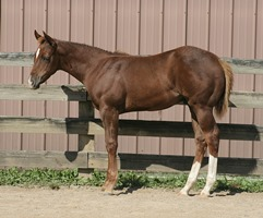 Foal_2014_Choclate Gladiator_Zips Chocolate Chip