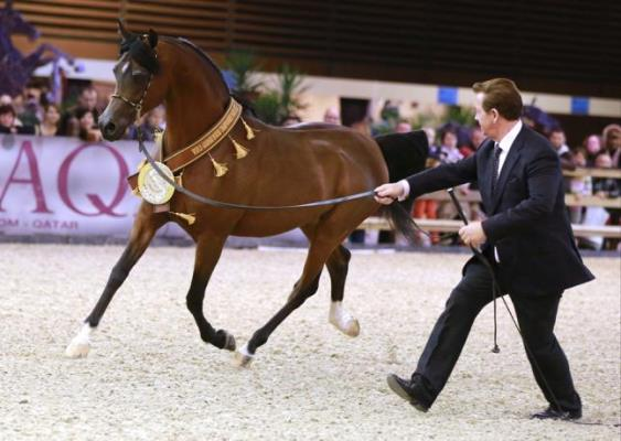 Knocke Arabians - QR Marc and Paul Gheysens