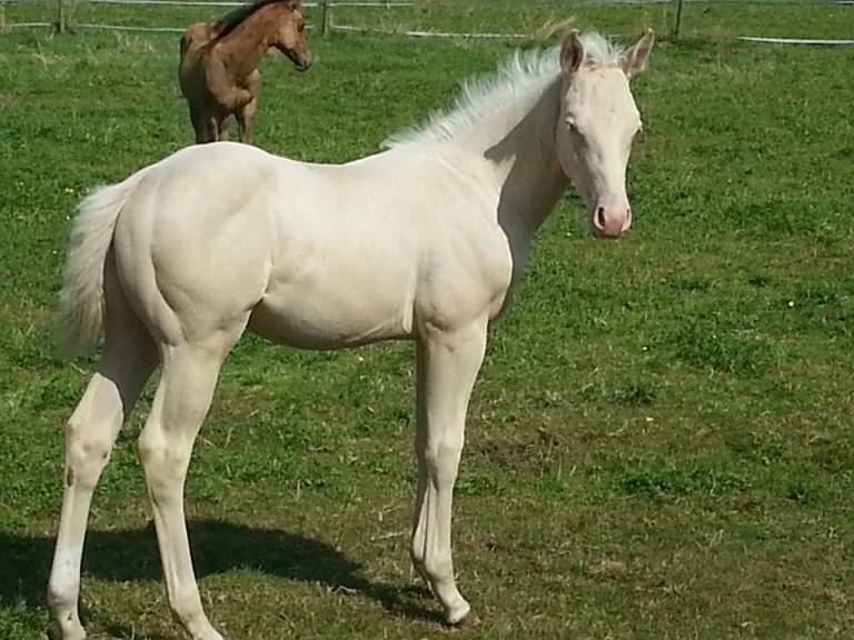Foal_2014_ACE Mistr Tinseltown_Hollywoodstinseltown LG2