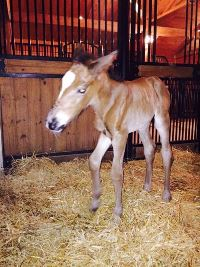 Foal_2015_Colt_Ampere x Valkyriez 200x