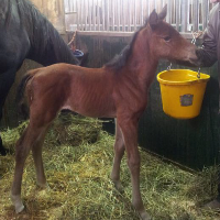 Foal_2015_Filly_Chippendale x Galliano Loma 200x
