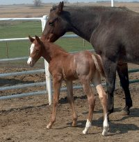 Foal_2015_Colt_Zips Chocolate Chip x Rock Star RD 200x