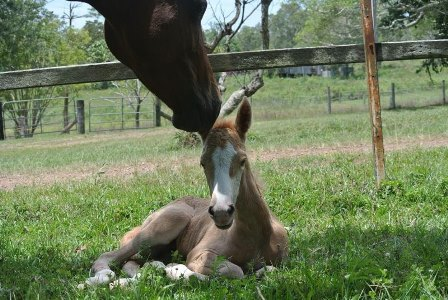 US Breeders in Australia_MEMC Tequila Ceurvo Filly