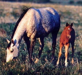 Equine Embryo Biopsy - Mare and Foal