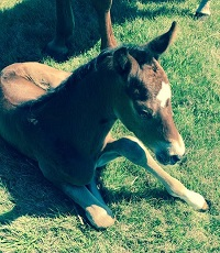 Foal_2016_Colt_Sternlicht x Girl Scout 200x