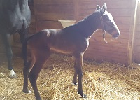 Foal_2016_Filly_Lord Leatherdale x Virona O 200x