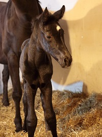 Foal_2016_Filly_Festrausch x Rhianna Royal 200x