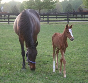 Grafting an Orphan Foal onto a Lactation Induced Recipient Mare_mare and foal