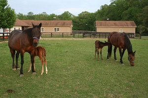 Grafting an Orphan Foal onto a Lactation Induced Recipient Mare_foals nursing