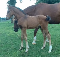 Foal_2016_Royal Design_Royal Prince x Dharma 200x