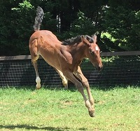 Foal_2017_Filly_Dressage Royal x Benidetta III 200x