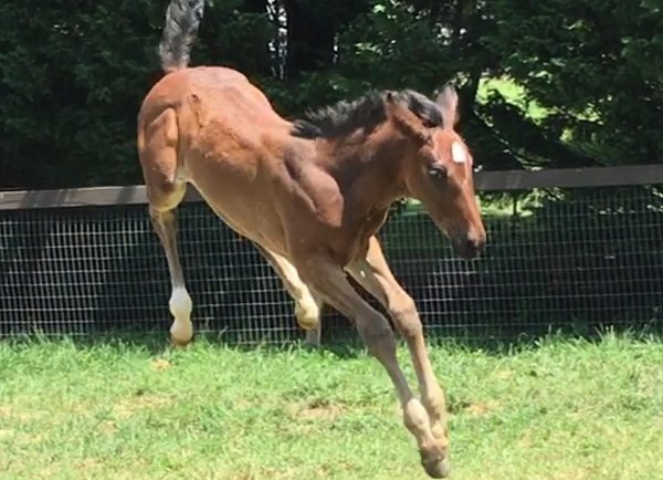 Foal_2017_Filly_Dressage Royal x Benidetta III LG