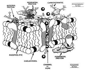 The Major Causes of Damage to Sperm During Freezing_Membrane Graphic