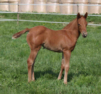 Topsail Whiz filly