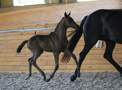 Preparing for Breed Inspection Day - Foal Action