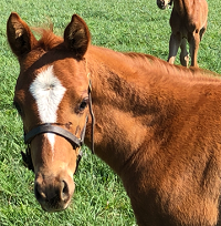 ^Foal 2019_Lucky Sixpence_Abduallh x Otherwise Engaged 200x