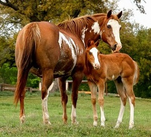 Paint Horse - Mare and Foal for QH available - cropped (2)