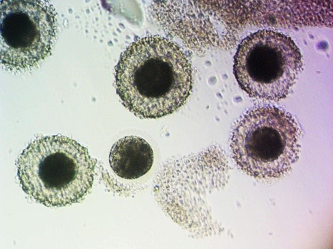 TVA Oocytes Photo