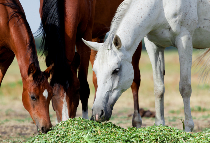 How to Prepare the Older Mare for Breeding Season - Mares eating