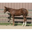 Zips chocolate chip 2014 colt  chocolate gladiator  conceived with frozen semen from sbsw