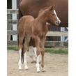 foal 2014 countess of chocolate zips chocolate chip original